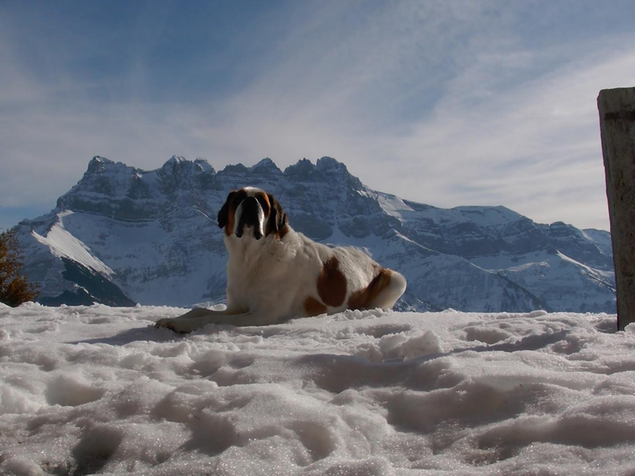 Loebas - in de sneeuw met Dents du Midi